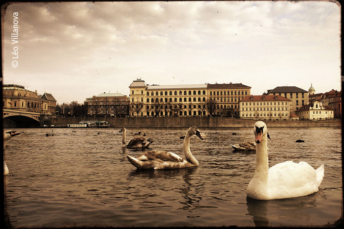 cisnes in vlatava